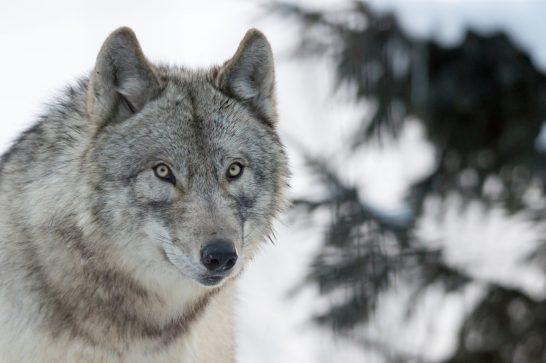 狼 憑 き 人 狼