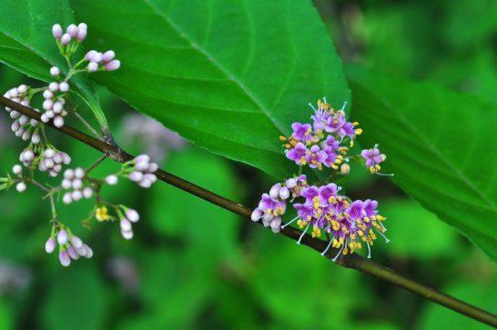 花 紫式部 花言葉