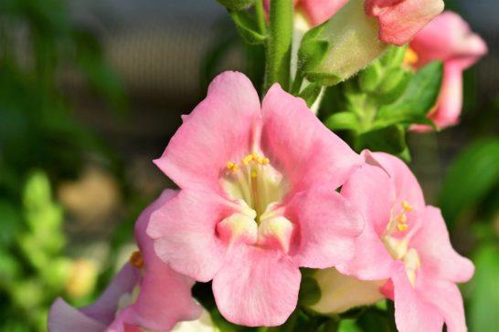 金魚草の花言葉。使わない方がよい意味もある、二つの姿を持つ花